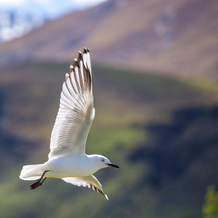 seagull-1081948_960_720